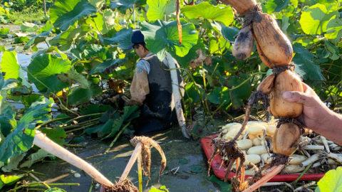 【茨城県】レンコン栽培でのナノバブル導入事例