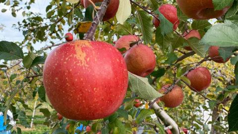 【長野県】りんご栽培でのナノバブル導入事例