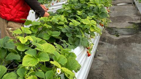 【岩手県】いちご栽培でのナノバブル導入事例