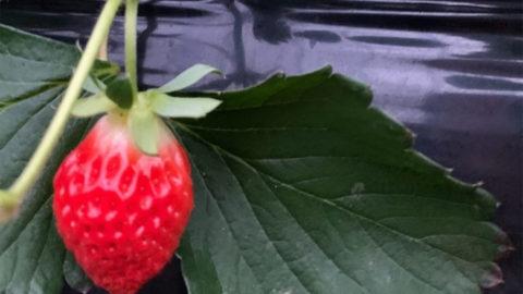 【新潟県】イチゴ栽培でのナノバブル導入事例