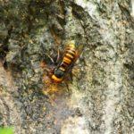 毎年死亡事故も!スズメバチが農作物に与える被害とは?