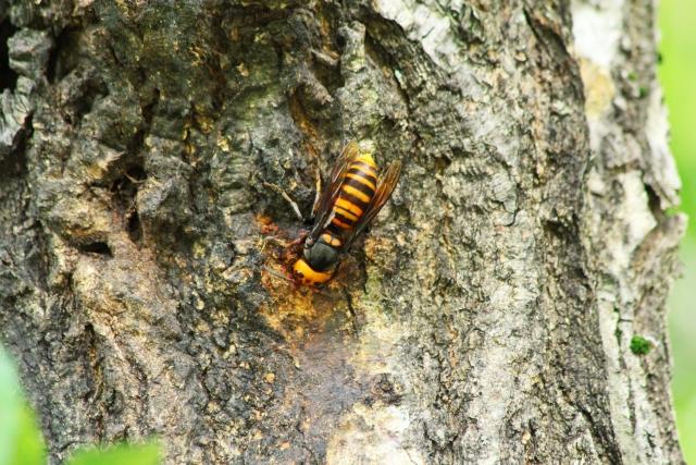 毎年死亡事故も!スズメバチが農作物に与える被害とは?画像1