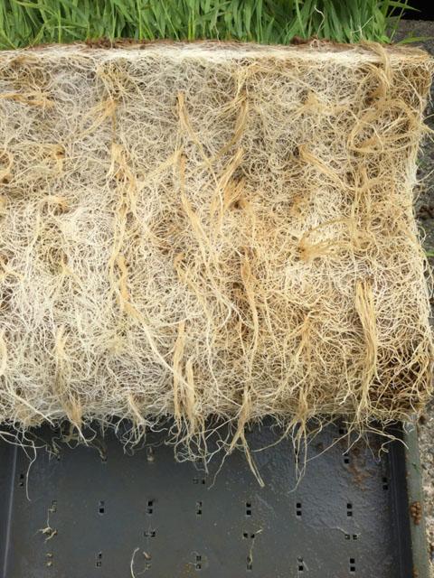 【ナノバブル】稲の根の違い│画像1