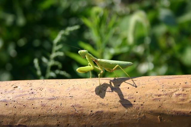 完全無農薬マニュアル。害虫の天敵を知ろう!(カマキリ編)画像2