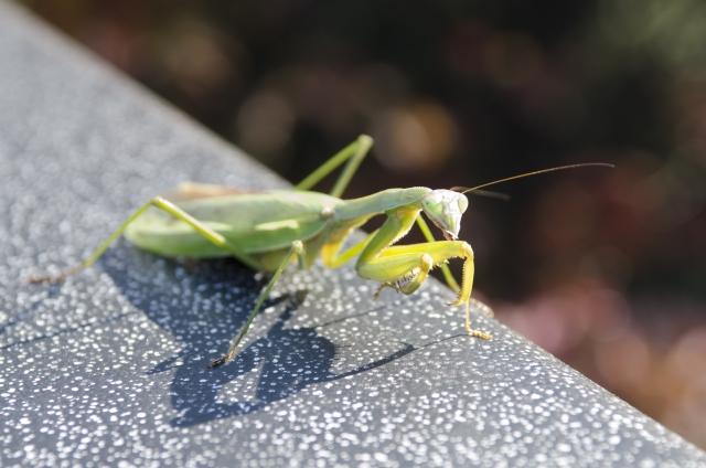 完全無農薬マニュアル。害虫の天敵を知ろう!(カマキリ編)画像1