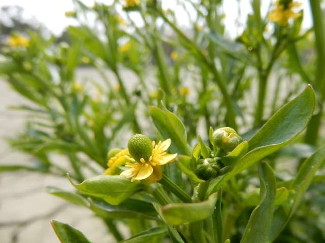 水田に発生する雑草の主な種類について画像3