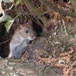 農業の大敵、ネズミによる被害の実情と有効なネズミ対策5選