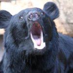 クマによる農作物被害の実情と田畑と人命を守るための3大対策
