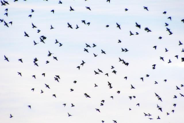 空からやって来る害獣、ヒヨドリとムクドリの農作物被害を防ぐ主な対策│画像1