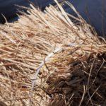 """農業系バイオマスと呼ばれる""""稲わら""""を活用しよう"""