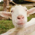ヤギに雑草を食べてもらうエコ除草は害獣被害の対策にも使えるのではないか?