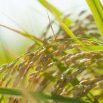 コメ農家の脅威、稲いもち病を知ろう!稲いもち病を抑制する新たな抗菌物質についても紹介