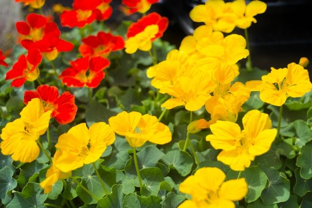 """""""食べられる花""""エディブルフラワー。栽培方法と気になる栄養について 画像3"""