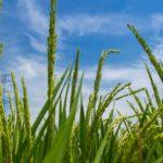 農薬を使わない湯温消毒法。湯温消毒の仕組みとその効果