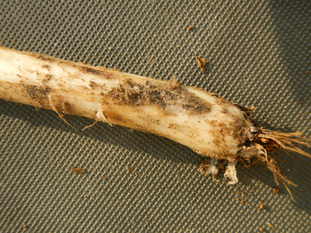 ネギ属の作物の病害、黒腐菌核病とは?│画像4