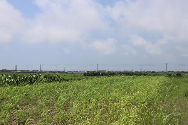 ソルゴーの防風効果と害虫防除効果│画像5
