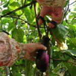 農林水産省が推進する「農福連携」とは。福祉の場としての農業。