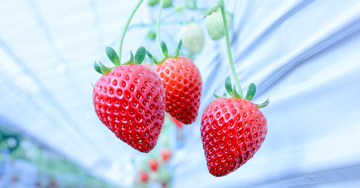 高品質イチゴ生産の遊士屋、昆虫テクノロジー企業ムスカとの実証実験開始。検証は京都大学大学院出身 中道貴也氏のAGRI SMILEが担当。