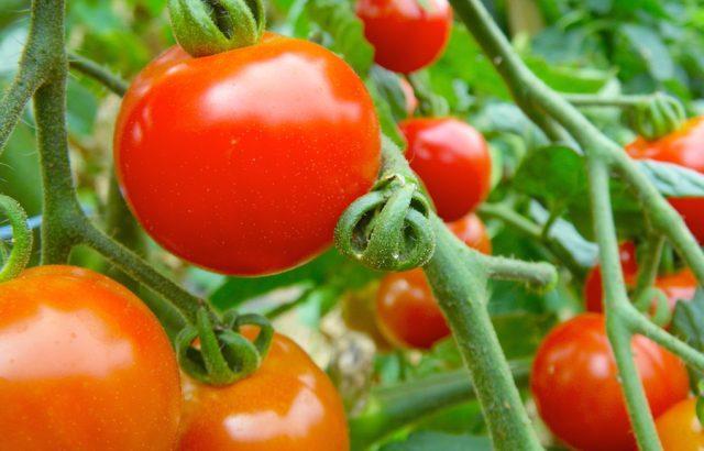固定種・在来野菜を守りたい人必見!自家採種のやり方と工夫したいポイント。|画像1