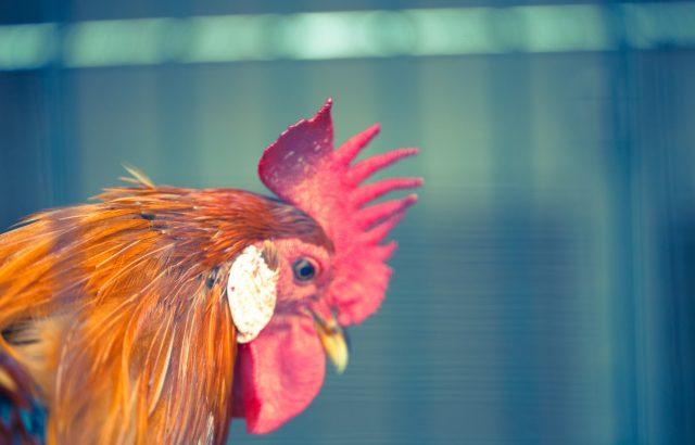 自給的農業を始めたい人必見!卵も糞も活用できるニワトリのススメ|画像1