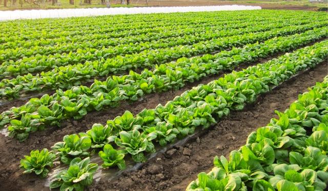 注目集まる業務用野菜生産【後編】業務用野菜生産の助成金について|画像1