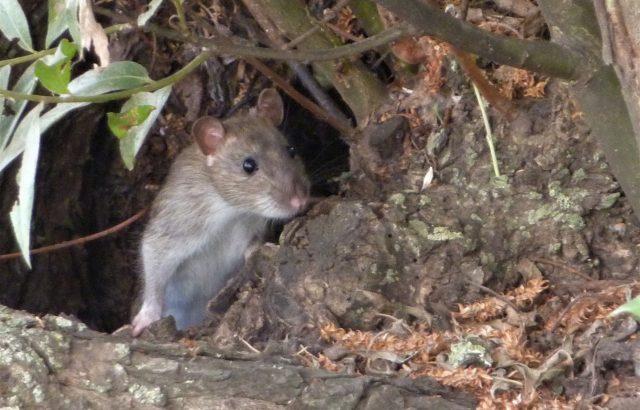 農業の害獣ネズミから作物を守るために。対策前に知っておきたいネズミの生態