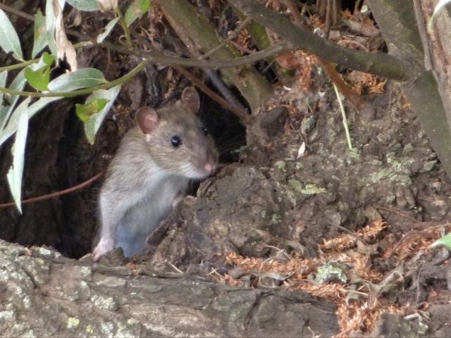 農業の害獣ネズミから作物を守るために。対策前に知っておきたいネズミの生態|画像1