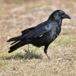 農業の天敵カラスから作物を守るために【前編】鳥害対策前に知っておきたいカラスの生態