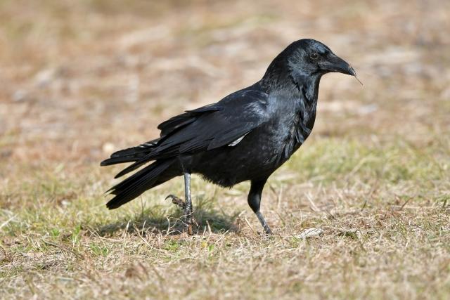 農業の天敵カラスから作物を守るために【前編】鳥害対策前に知っておきたいカラスの生態 画像1