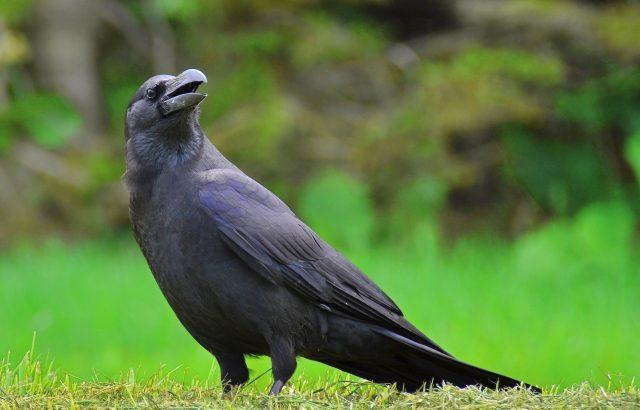 農業の天敵カラスから作物を守るために【後編】カラスに効く鳥害対策とは
