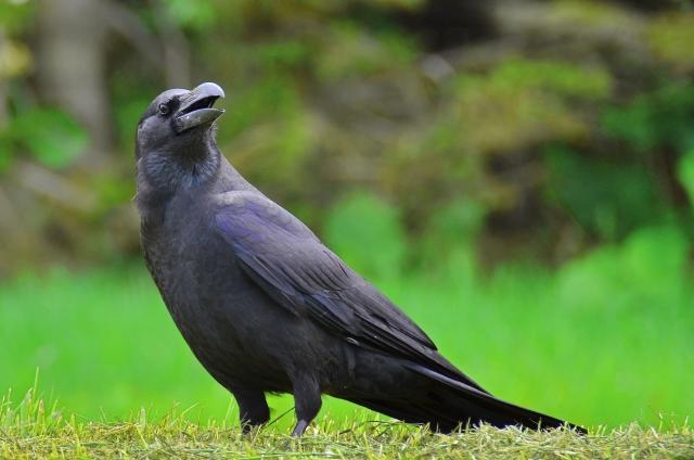 農業の天敵カラスから作物を守るために【後編】カラスに効く鳥害対策とは 画像1