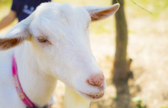 注目集まるヤギによる除草。除草に活躍する中小家畜のススメ