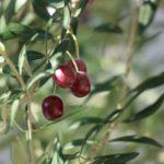 全国各地に広がっている!?国産オリーブ栽培の魅力と注意点について