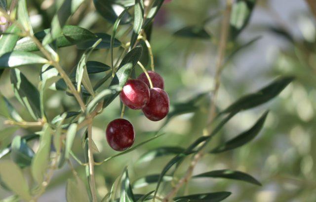 全国各地に広がっている!?国産オリーブ栽培の魅力と注意点について|画像1