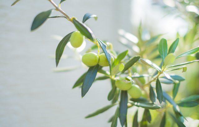 国産オリーブ栽培に挑戦するなら、知っておきたい基礎知識【後編(品種編)】|画像1