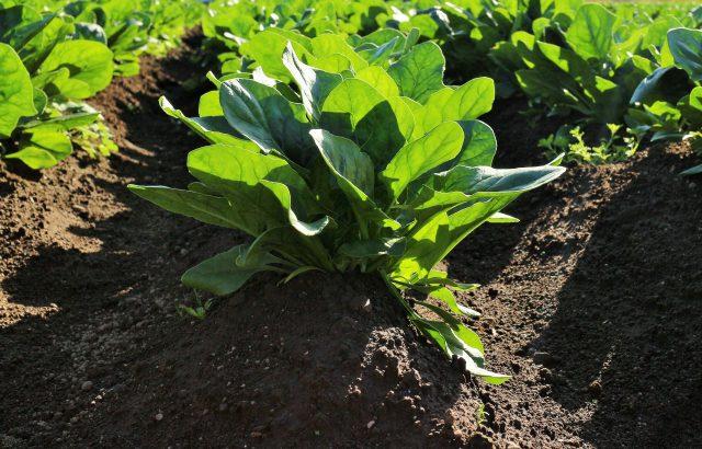野菜の特性と養分管理のコツ【前編】軟弱野菜と結球野菜について