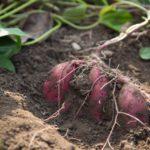 野菜の特性と養分管理のコツ【後編】根菜類と果菜類について