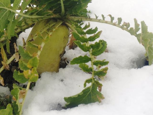 |農業に天然資源を活用。積雪の農業利用事例。|画像1