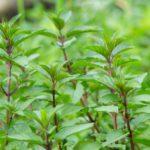 農業の害虫対策に「香り」が役立つ!?香りによる対策法と最新研究を紹介|画像1