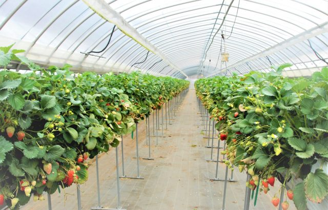 イチゴの栽培方法の一つとしておなじみ「高設栽培」で得られるメリットとは。