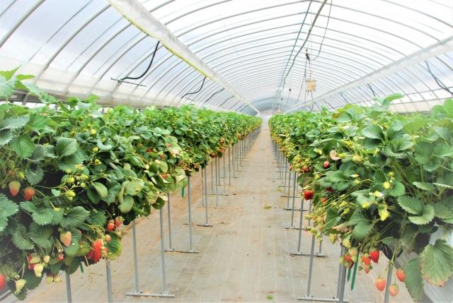 イチゴの栽培方法の一つとしておなじみ「高設栽培」で得られるメリットとは。|画像1