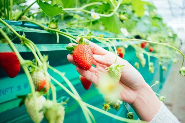 イチゴの栽培方法の一つとしておなじみ「高設栽培」で得られるメリットとは。|画像2