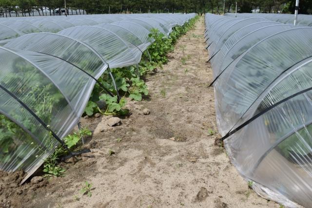 冬の畑を活用できる!?トンネル栽培について|画像