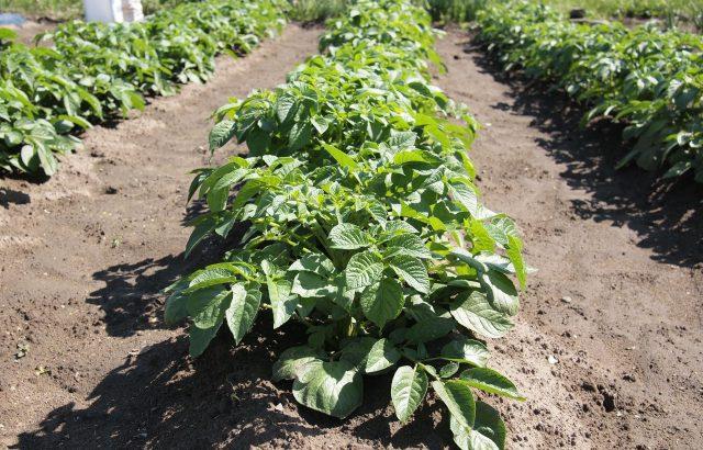 減肥栽培のコツ。コスト削減や環境負荷削減に注目集まる減肥栽培に取り組んでみませんか?