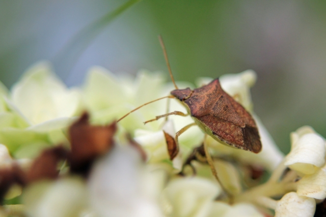 光を利用した害虫対策まとめ。カメムシやアザミウマなど、害虫ごとの光に対する反応と防除法を紹介 画像2
