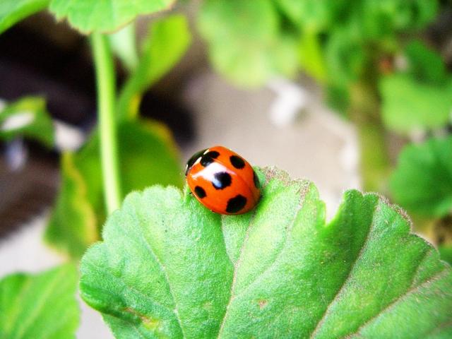 アブラムシの生態と農作物への被害、対策方法について|画像3