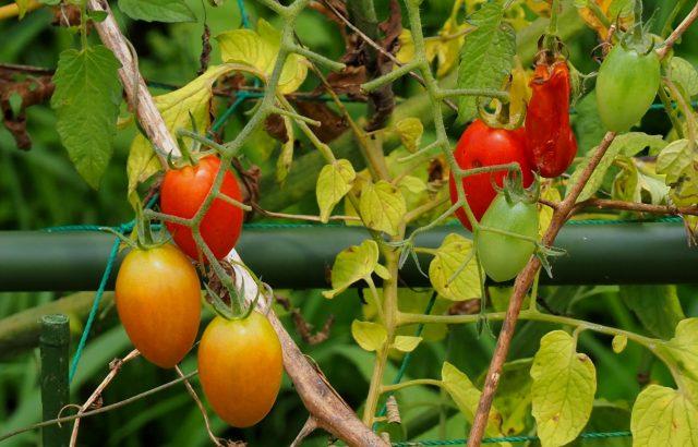 【農業病害まとめ】「非伝染性病害」とは。代表的な養分欠乏・過剰の例まとめ。