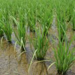 安定的な農業経営のために。稲作後などの水田を利用した野菜づくりについて【前編】