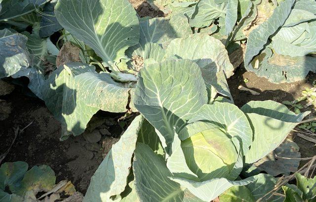 【植物の病害あれこれ】菌核病について。菌核病の原因や菌核病になりやすい作物、対処法を紹介